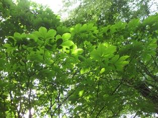 トチの木の葉