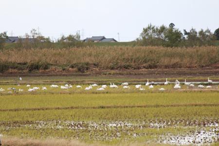 2.白鳥集団