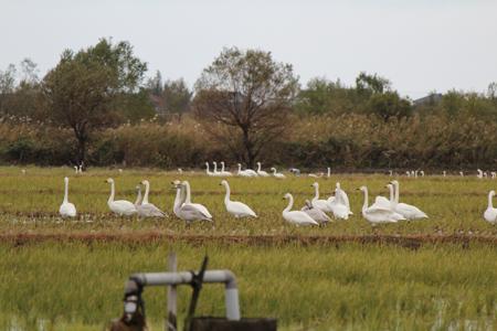 3.白鳥集団
