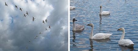1/26五頭自然学校:白鳥観察プログラム写真