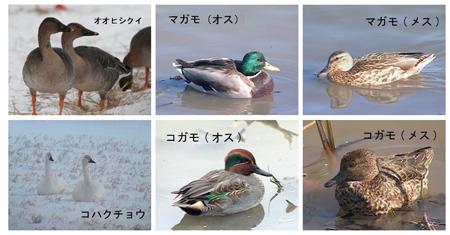 冬の福島潟の水鳥たち