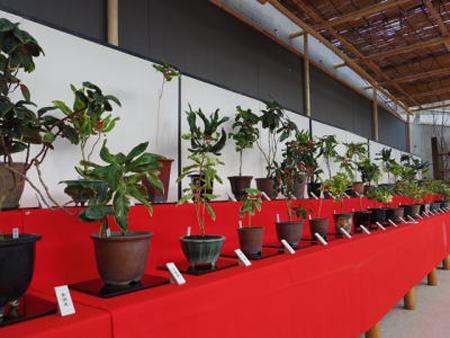 新春江戸の園芸展2(新潟県立植物園ホームページから引用)