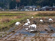 【五頭自然学校】2月9日(日)/白鳥ウォッチング~瓢湖・夕方のねぐら入りと田んぼ~画像1