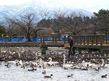 【五頭自然学校】2月9日(日)/白鳥ウォッチング~瓢湖・夕方のねぐら入りと田んぼ~画像2