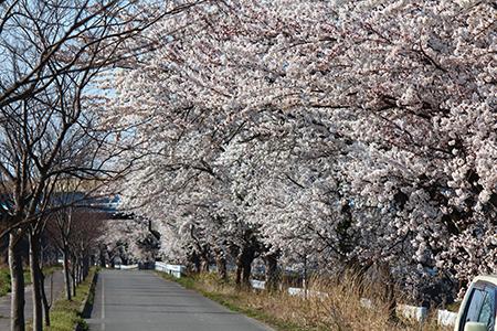 H26.4.14新江の桜満開(上流)12