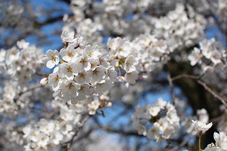 H26.4.14新江の桜満開(上流)15