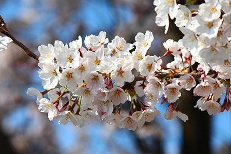 H26.4.14新江の桜満開(上流)3