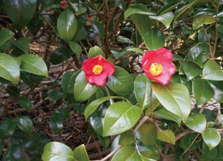 2014.4.15現在の角神雪椿園の開花状況2