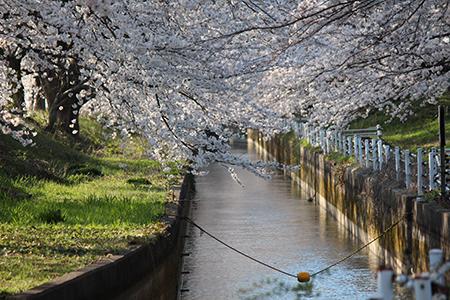 H26.4.14新江の桜満開(中流)4