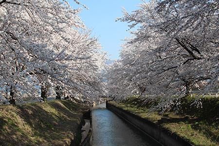 H26.4.14新江の桜満開(上流)1