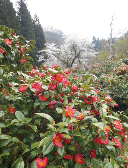 2014.4.21現在の角神雪椿園の様子2