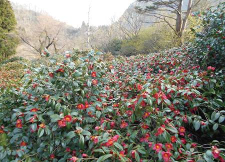 2014.4.15現在の角神雪椿園の開花状況1