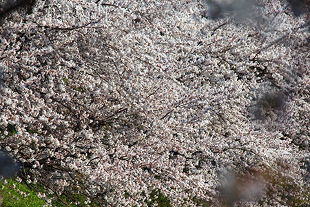 H26.4.14新江の桜満開(上流)10