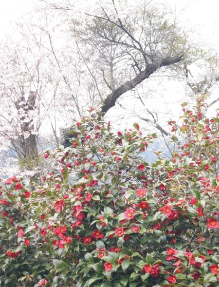 2014.4.21現在の角神雪椿園の様子3