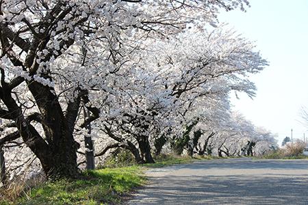 H26.4.14新江の桜満開(上流)14