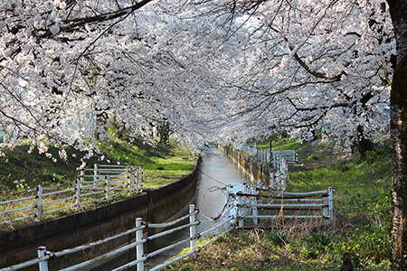 H26.4.14新江の桜満開(中流)3