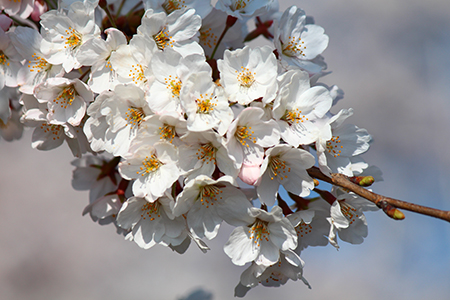H26.4.14新江の桜満開(上流)6