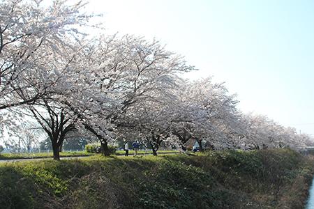 H26.4.14新江の桜満開(上流)4