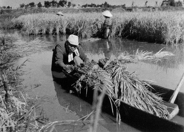 グレースケールでスキャン:深田での稲刈り作業(昭和26年撮影)