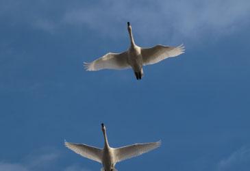 birdswanmorning